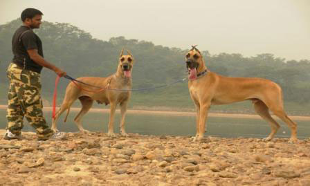 Great Danes Dogs / Pups / Litters, for sale in Ranchi, Jharkhand